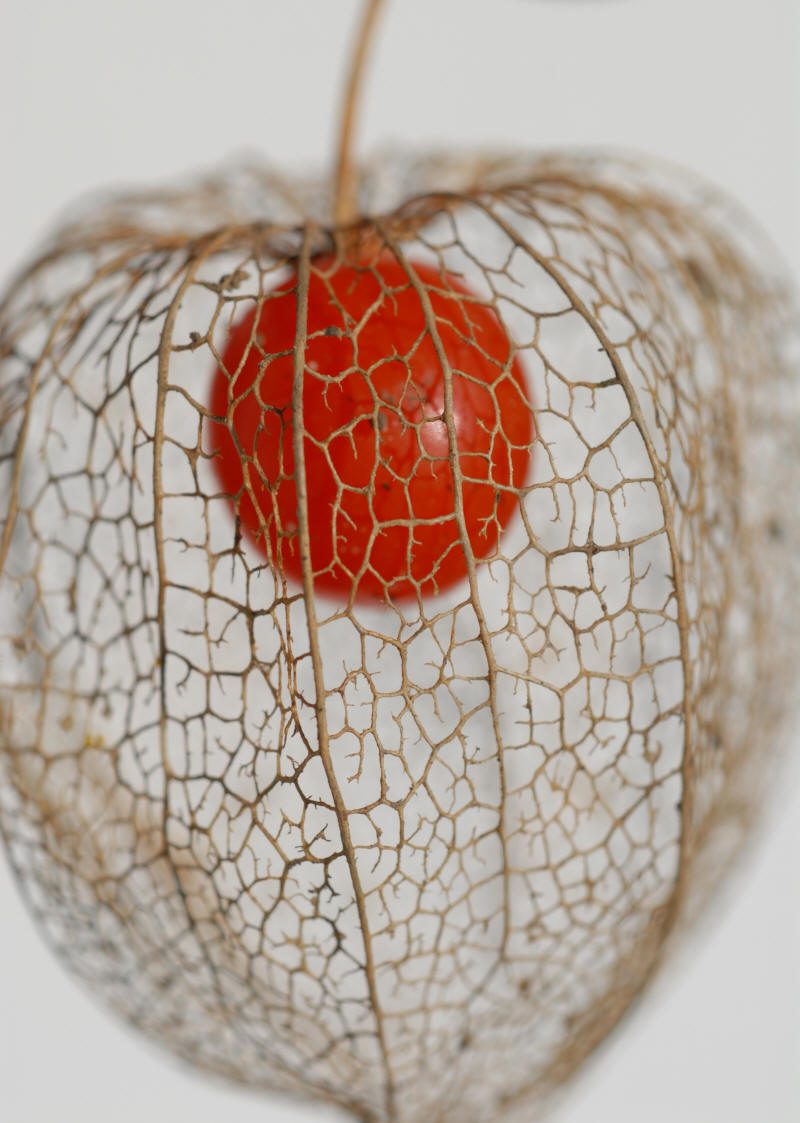 Chinese lantern plant arts inspiration - Fruit cage d amour ...