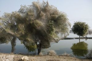 pakistan-floods-drive-spiders-into-trees-overview-mosquitoes_34031_600x450